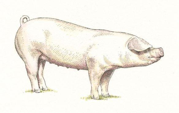 porc-LANDRACE-info121